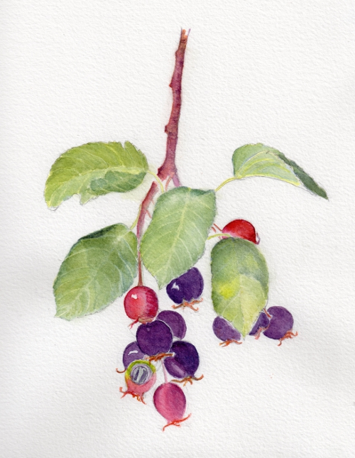 amelanchier_berries_small